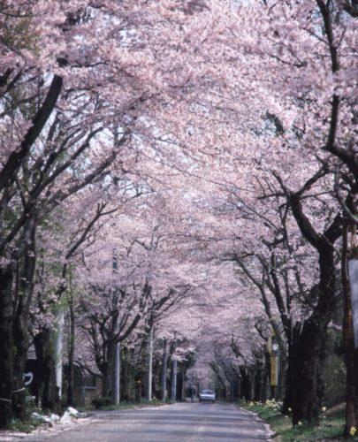 ohira-sakura_04-760x939